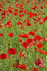 Panel Szklany Czerwone maki na łące pośród traw. Łąka z pięknymi makami w pogodne wiosenne przedpołudnie.