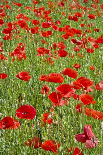 Czerwone maki na łące pośród traw. Łąka z pięknymi makami w pogodne wiosenne przedpołudnie. - 112718717