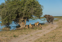 Elephant Chases Six Lions Away...