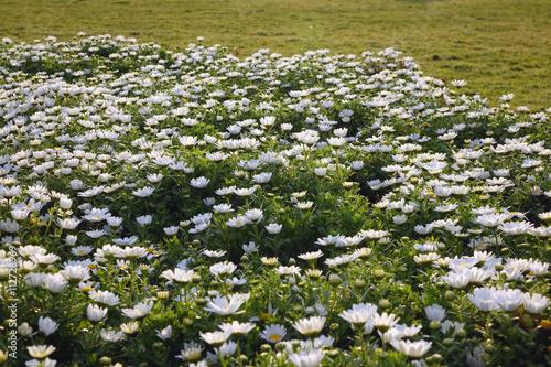 Fotografie, Obraz  ノース ポールの花_234