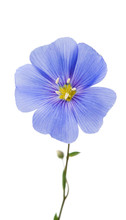 Blue Flax Flower Isolated
