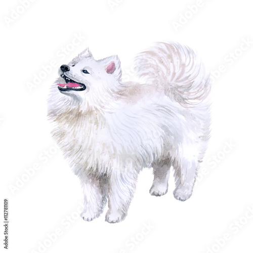Watercolor Closeup Portrait Of Cute Samoyed Breed Dog Isolated On
