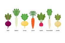 Set Of Root Crops: Daikon, Horseradish, Radish, Beet, Turnip, Swede, Carrot