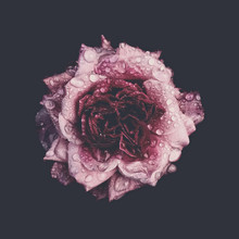 Wet Pink Rose Against Black