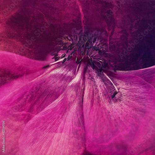 Pink anemone, close-up