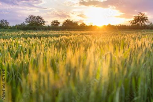 Foto auf Gartenposter Landschappen Field of wheat in the sunset landscape