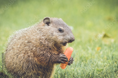 Photo  Adorable young groundhog walking through grass and buttercups in vintage garden