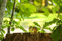 Chipmunk Sitting On A Stump, And Holding In The Paws Food. In The Background, Natural Plant Background Of Green Leaves.