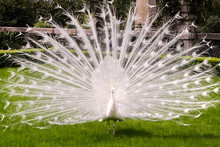White Albino Peacock With A Tail Like A Fan-opening On A Green Lawn In The Spring Or Summer.