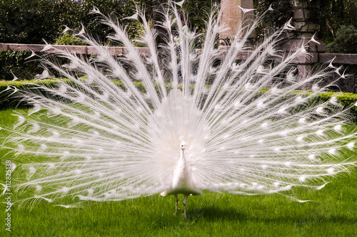 Fotobehang Pauw White albino peacock with a tail like a fan-opening on a green lawn in the spring or summer.