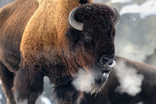 American Bison (Bison Bison) B...