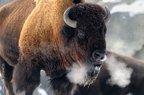 Photo Stands Bison American bison (Bison bison) breathing in cold winter