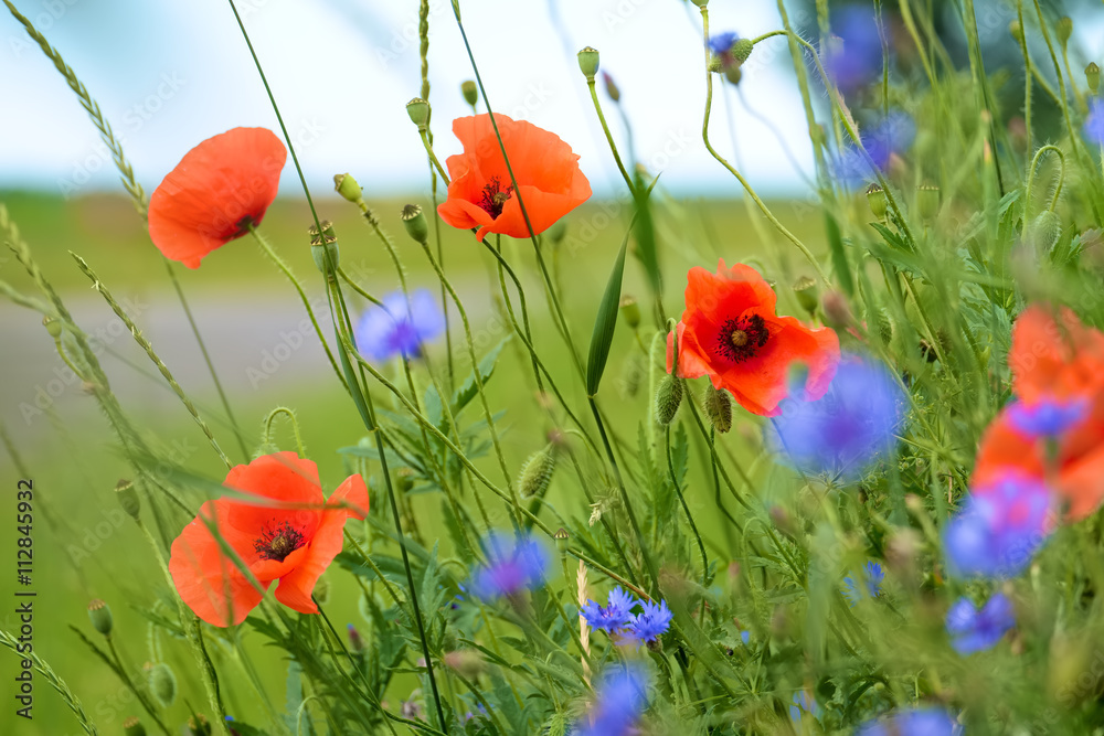 Fototapety, obrazy: Poppy and cornflowers on a summer meadow