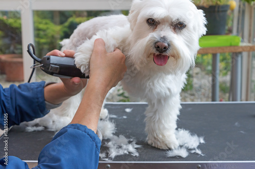 Fotografía  Grooming the forefeet of white dog
