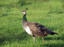 Beautiful Young Peahen On A Green Grass