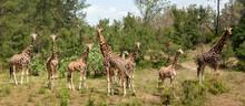 Eight Giraffes On The Glade