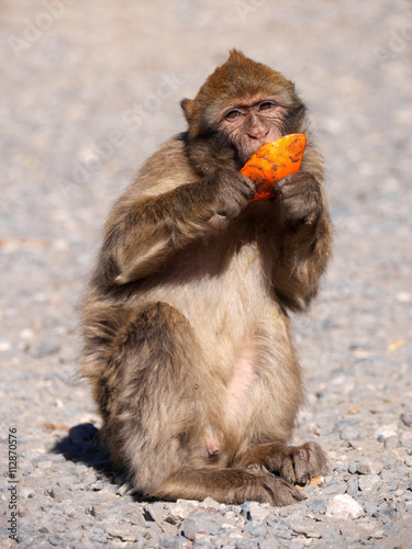 Fotografie, Obraz  Berberaffe im Atlasgebirge in Marokko ißt eine Orange