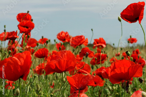 Keuken foto achterwand Rood traf. Red poppies in sunny day