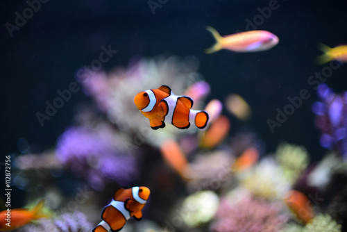 Fotografie, Obraz  Nemo fish in aquarium for background