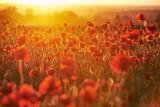 Fototapeta Kwiaty - Czerwone pole maków o zachodzie słońca