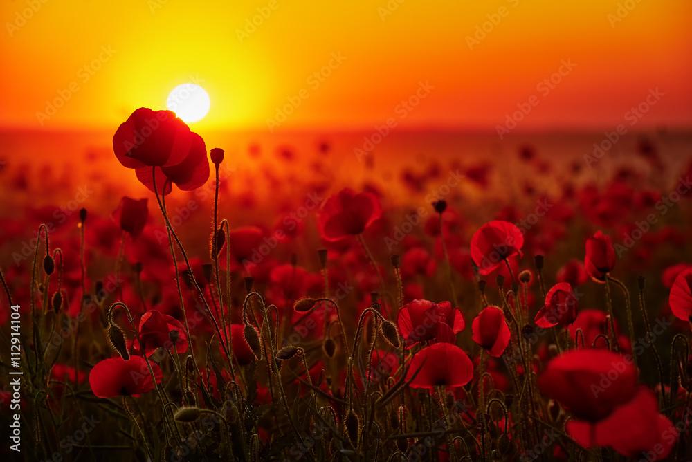 Obraz Kwiaty maków na tle zachodzącego słońca fototapeta, plakat