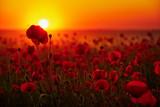 Fototapeta Papavers - Kwiaty maków na tle zachodzącego słońca
