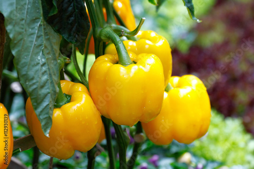 Fototapeta Yellow bell pepper (sweet pepper) on the pepper tree obraz