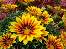 Lovely Yellow Gazania's