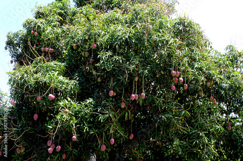 Mango tree in Hawaii