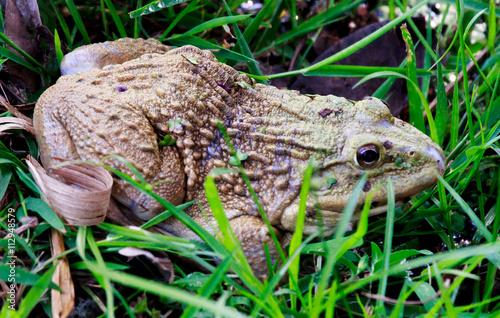 Valokuva  Frog