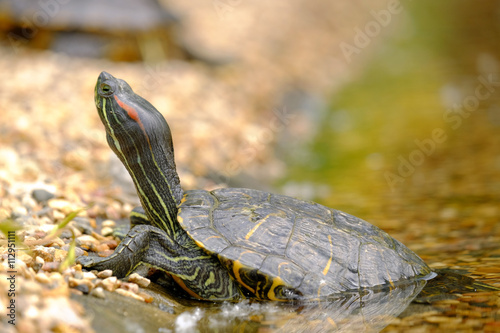 Poster Tortue Turtle on the shore
