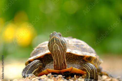 obraz dibond Turtle on the rocks
