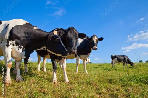 Photo Stands Cow Vache en pâture