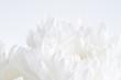 Leinwandbild Motiv White flower closeup