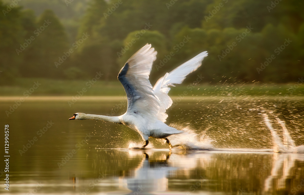 The swan starting in sunset light on lake in Mazuras, Poland