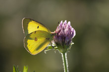 Backlit Clouded Yellow Sulphur...