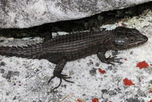 The Black Girdled Lizard, Cordylus Niger, Is A Medium-sized Lizard Restricted To Table Mountain On The Cape Peninsula And A Second, Isolated Population Near Langebaan.