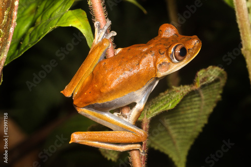 Fotografie, Obraz  The map tree frog, Hypsiboas geographicus, is a species of frog in the Hylidae family