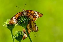 Buckeye Butterfly (Junonia Coenia) Mating