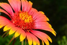 Indian Blanket (Gaillardia Pulchella) Or Firewheel Wildflower Se