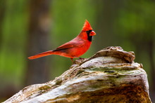 The Northern Cardinal Is A Nor...