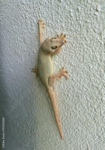 Gecko carcass still stuck on wall,The Lizard dead - Buy this