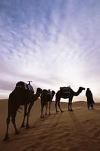 Berber Camel Leader With Three Camels In Erg Chebbi Sand Sea, Sahara Desert, Near Merzouga, Morocco