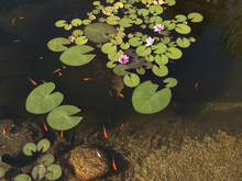 Goldfish And Water Lily In Pond