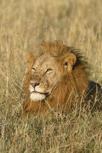 Adult male Lion at first light