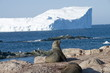 Fur seals, Gourdin Island, Antarctic Peninsula, Antarctica, Polar Regions