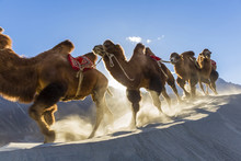 Bactrian Or Double Humped Camels (Camelus Bactrianus), Nubra Valley, Ladakh, India