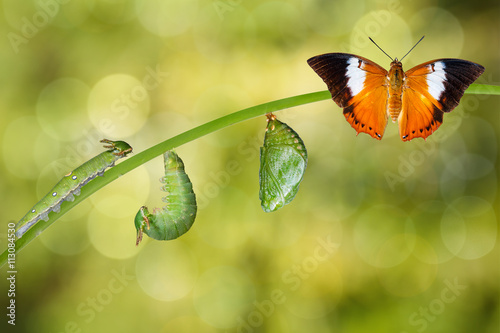 Photo  Life cycle of Tawny Rajah butterfly