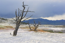 Dead Trees At The Top Of Canary Spring, Main Terrace, Mammoth Hot Springs, Yellowstone National Park, Wyoming