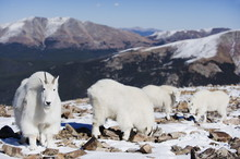 Mountain Goat (antelope) In Winter Coats On Quandary Peak, A Mountain Above 14000 Feet, Known As A 14er, Colorado